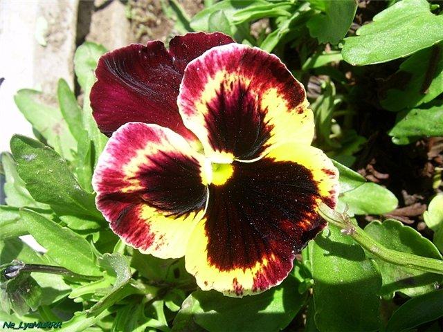 Анютины глазки (садовая фиалка)