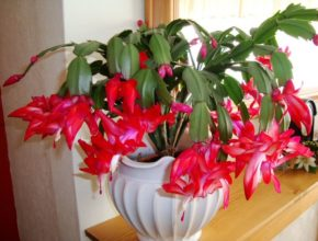 цветение кактуса декабрист