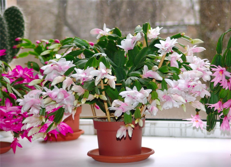 цветущий кактус декабрист