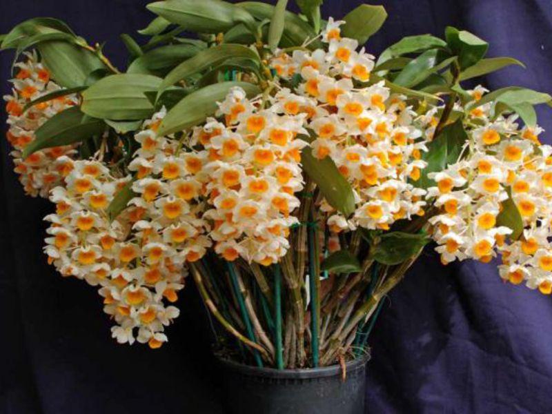 орхидеа дендробиум