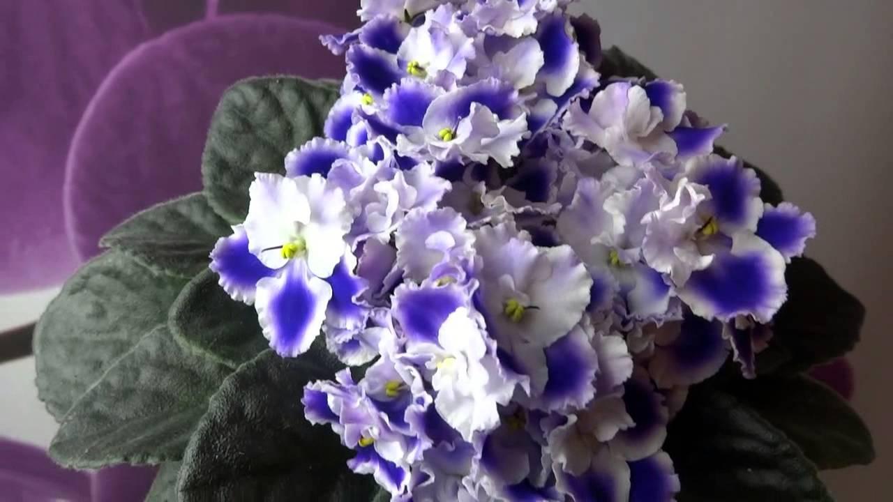 фиалки нежно-голубые