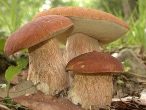 гриб моховик зеленый
