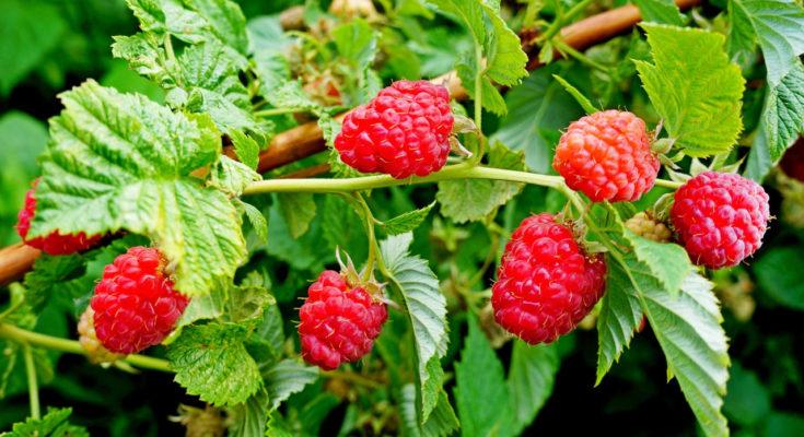 куст малины с ягодой