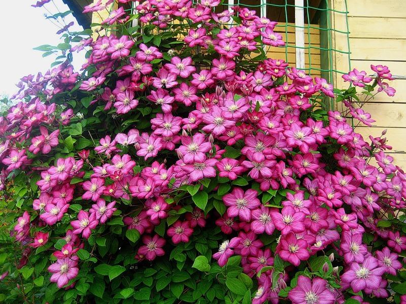 розовые клематисы