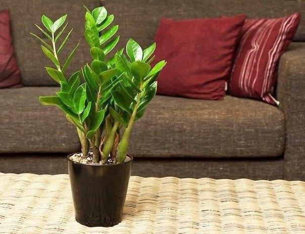 Замиокулькас- долларовое дерево. Секреты ухода