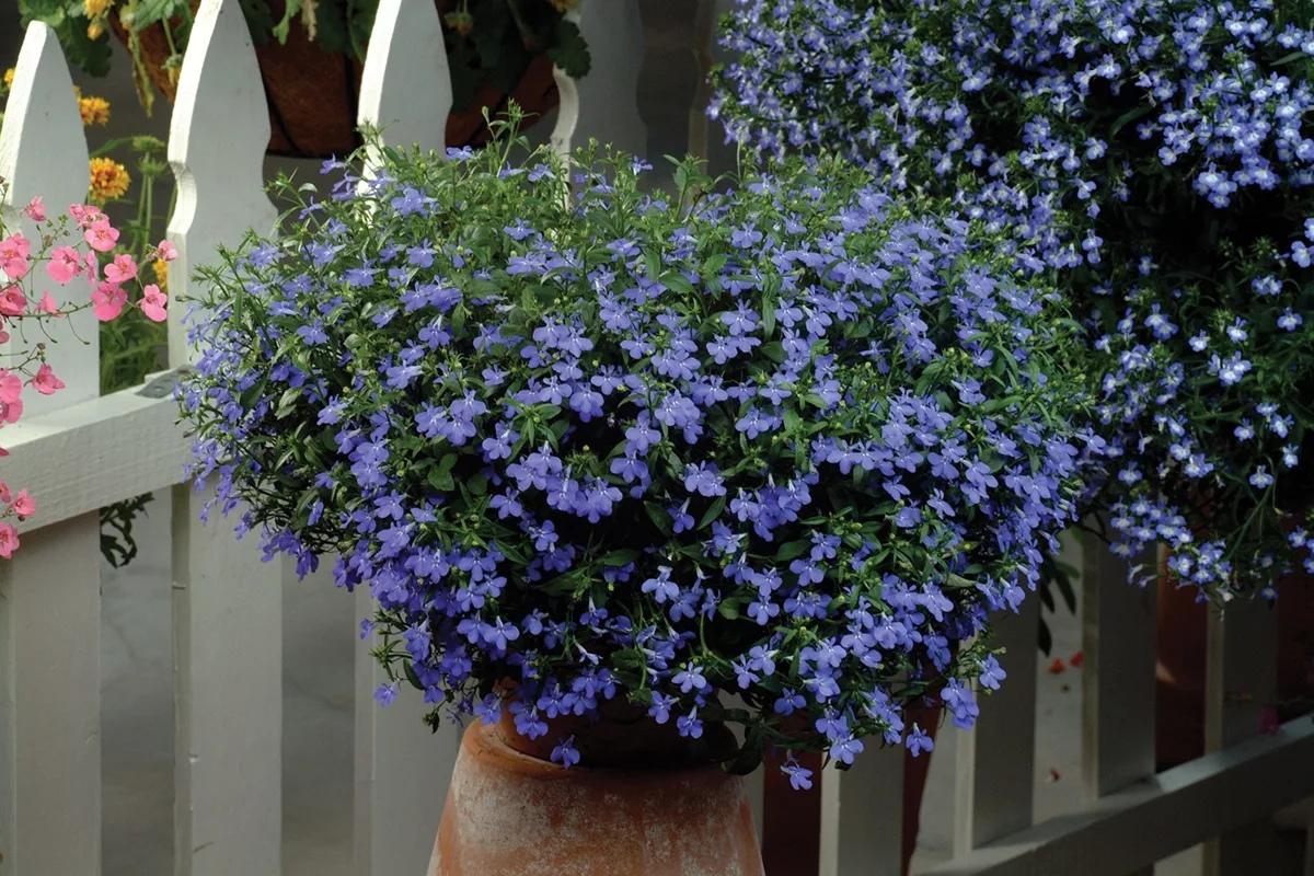 цветы ниагара фото