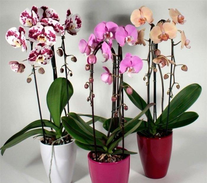 Пошаговая инструкция по пересадке фаленопсиса ( орхидея)