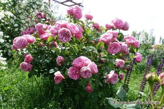 Распознаем побег шиповника у розы