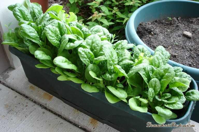 Выращивание шпината на подоконнике