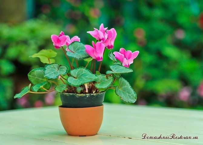 Цикламен- комнатный цветок для души