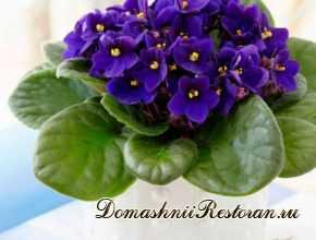 Комнатный цветок Сенполия