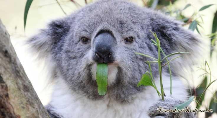 20 фактов о коалах