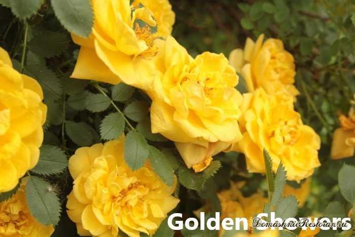 Клаймбер розы