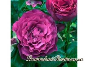 Роза Блю Иден