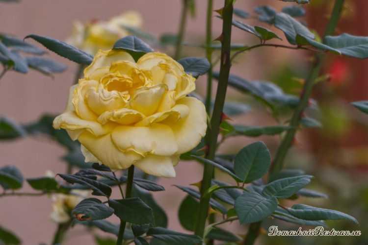 Чем обрабатывать розы осенью перед зимой