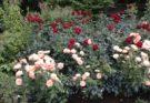 Октябрьские заботы любителей роз