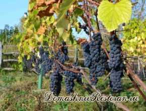 Выращивание винограда на гряде