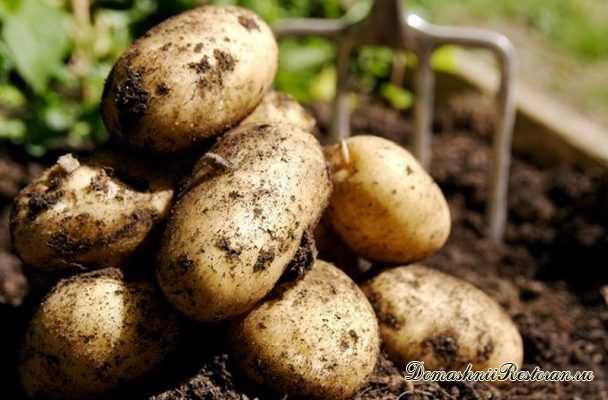 Как вырастить ранний урожай картофеля