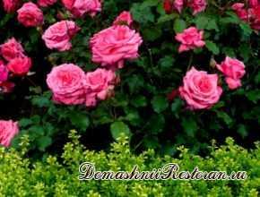 Разведение роз
