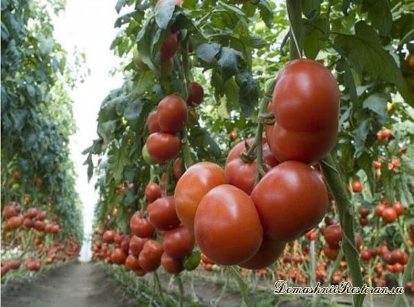 2 ведра помидор с одного куста - да легко!