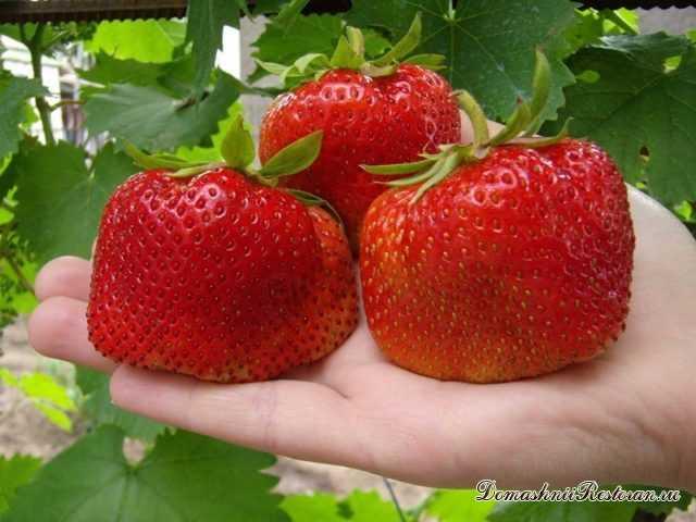 9 секретов выращивания крупной Клубники🍓