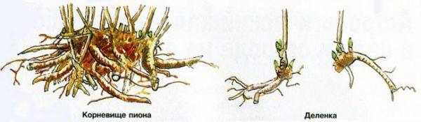 Как правильно высадить пионы. Как сажать пионы из коробки