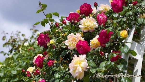 Как добиться обильного цветения роз?