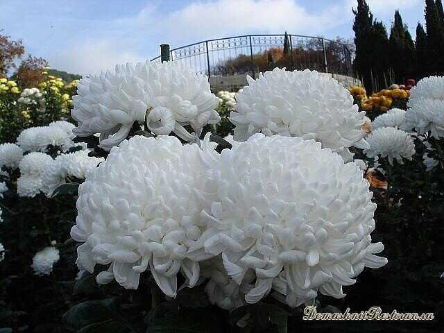 Секреты обильного цветения хризантемы