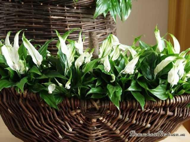 8 золотых правил для цветения СПАТИФИЛЛУМА (Женское счастье или Цветок невест) круглый год